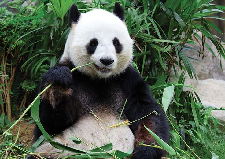 Hometown of the Giant Panda